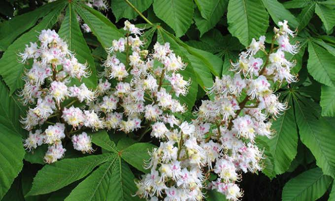Из настойки цветков каштана делают компрессы на поясничный отдел позвоночника